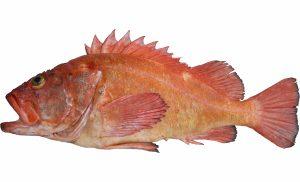 Yelloweye Rockfish (Adult)
