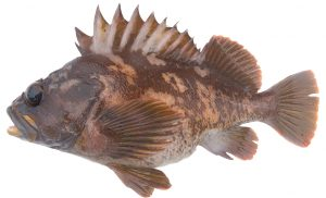Gopher Rockfish