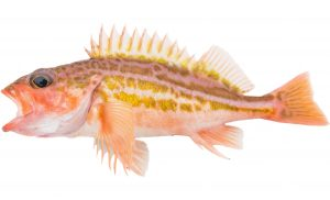 Greenstriped Rockfish