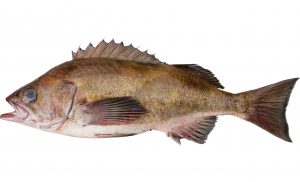 Widow Rockfish