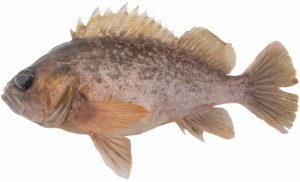 Grass Rockfish (Dark Version)