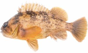 Grass Rockfish (Light Version)