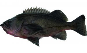 Dusky Rockfish (Dark Version)