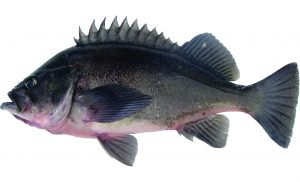 Dusky Rockfish (Light Version)